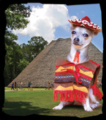 Chihuahua dressed up in a festival outfit standing in front of the council house at Mission San Luis for the Chihuhua Parade and Costume Contest